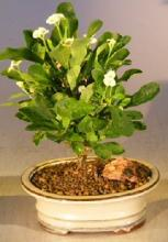Flowering Crown of Thorns Bonsai Tree - Cream / Yellow :: Flowering Bonsai Trees