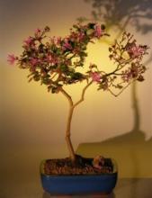 Flowering Chinese Fringe Bonsai Tree :: Indoor Bonsai Trees
