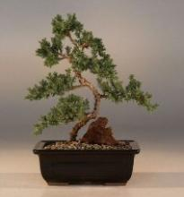 Karate Kid Juniper Bonsai Tree :: Juniper Bonsai Trees