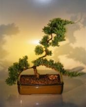 Kyoto Japanese Juniper Bonsai Tree :: Juniper Bonsai Trees