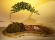 Mystical Juniper Bonsai Tree :: Juniper Bonsai Trees