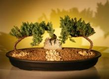 Enchanting Juniper Bonsai Tree :: Juniper Bonsai Trees