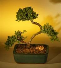 Graceful Juniper Bonsai Tree :: Juniper Bonsai Trees