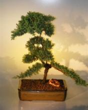 Lovely Juniper Bonsai Tree :: Juniper Bonsai Trees