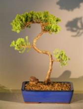 Refreshing Juniper Bonsai Tree :: Juniper Bonsai Trees
