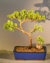 Bright Juniper Bonsai Tree :: Juniper Bonsai Trees