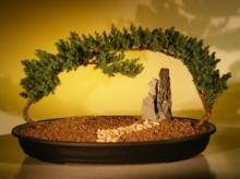 Around the World Juniper Bonsai Tree :: Juniper Bonsai Trees