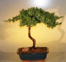 Juniper Senior Bonsai Tree :: Juniper Bonsai Trees