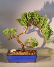 Yaban Juniper Bonsai Tree :: Juniper Bonsai Trees