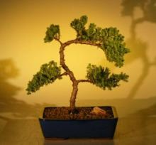 Vibrant Juniper Bonsai Tree :: Juniper Bonsai Trees