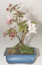 Flowering Crabapple Bonsai Tree :: Japanese Bonsai Trees