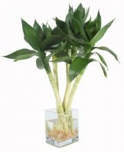 5 Lotus Arrangement :: Lucky Bamboo Plant