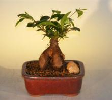 Ginseng Ficus Bonsai Tree - Small :: Indoor Bonsai Trees