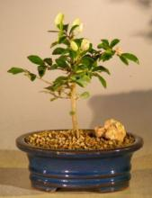 Flowering Lavender Star Flower Bonsai Tree - Small :: Flowering Bonsai Trees