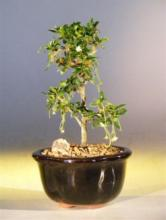 Straight Trunk Fukien Tea Bonsai Tree :: Indoor Bonsai Trees