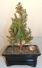 Atlantic White Cedar :: Indoor Bonsai Trees