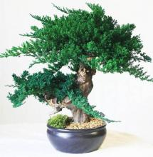 Jin Bonsai :: Artificial Bonsai Trees