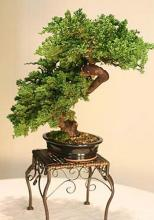Windswept Preserved Bonsai :: Artificial Bonsai Trees
