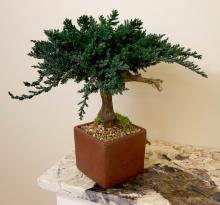 Unique Preserved Juniper Bonsai Tree  :: Artificial Bonsai Trees