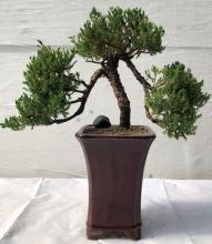 Large Juniper Bonsai Tree Pom-Pom Style :: Juniper Bonsai Trees