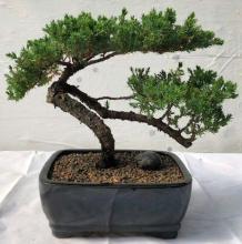 Large Juniper Bonsai Tree - Trained :: Juniper Bonsai Trees