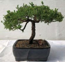 Large Juniper Bonsai Tree Windswept Style :: Juniper Bonsai Trees