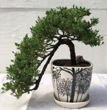 Large Juniper Bonsai Tree Cascade Style :: Juniper Bonsai Trees