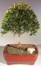 Brush Cherry - Large :: Indoor Bonsai Trees
