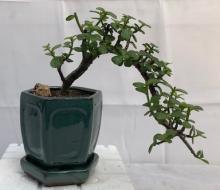 Baby Jade Bonsai Tree - Cascade Style :: Indoor Bonsai Trees