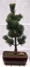 Japanese White Pine 1 Bonsai Tree :: Indoor Bonsai Trees