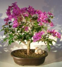 Flowering Bougainvillea Bonsai Tree :: Flowering Bonsai Trees