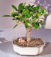 Ficus Retusa Bonsai Tree - Medium <i>(Ficus Retusa)</i> :: Indoor Bonsai Trees