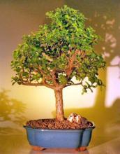 Baby Jade Bonsai Tree - Extra Large <i>(Portulacaria Afra)</i> :: Indoor Bonsai Trees