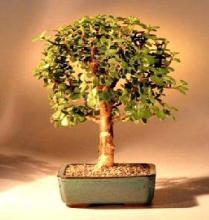 Baby Jade Bonsai Tree - Medium <i>(Portulacaria Afra)</i> :: Indoor Bonsai Trees