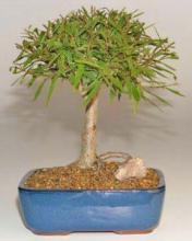 Willow Leaf Ficus Bonsai Tree-Medium  <i>(Ficus Nerifolia/Salisafolia)</i> :: Indoor Bonsai Trees