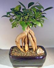 Ginseng Ficus Bonsai Tree - Medium <i>(Ficus Retusa)</i> :: Indoor Bonsai Trees