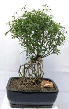Chinese Flowering White Serissa Bonsai Tree Tree of a Thousand Stars Raised Roots <i>(Serissa Japonica)</i> :: Indoor Bonsai Trees
