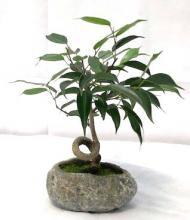 Oriental Ficus Bonsai Tree In Faux Lava Rock Coiled Trunk <i>(Ficus Benjamina)</i> :: Indoor Bonsai Trees