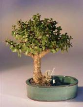 Baby Jade Bonsai Tree Land/Water Pot - Medium <i>(Portulacaria Afra)</i> :: Indoor Bonsai Trees