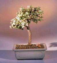 Baby Jade  Medium Bonsai Tree - Variegated <i>(Portulacaria Afra Variegata)</i> :: Indoor Bonsai Trees