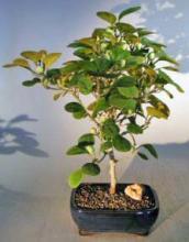Mistletoe Fig Bonsai Tree <i>(Ficus Diversifolia)</i> :: Indoor Bonsai Trees