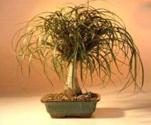 Ponytail Palm - Large  <i>(Beaucamea Recurvata)</i> :: Indoor Bonsai Trees