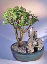 Baby Jade Bonsai Tree Stone Landscape Scene <i>(Portulacaria Afra)</i> :: Indoor Bonsai Trees