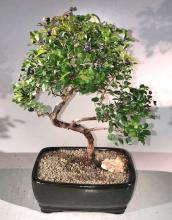 Sweet Plum Curved Trunk Bonsai Tree Large <i>(Sageretia Theezans)</i> :: Indoor Bonsai Trees