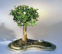 Baby Jade on Rock Slab Bonsai Tree <i>(Portlacaria Afra)</i> :: Indoor Bonsai Trees