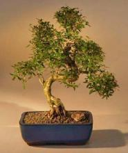Chinese Flowering White Serissa Bonsai Tree of a Thousand Stars Curved Trunk Style Extra Large <i>(Serissa Japonica)</i> :: Indoor Bonsai Trees