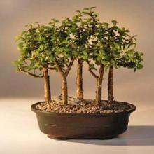 Baby Jade Bonsai Tree Five Tree Forest Group <i>(Portulacaria Afra)</i> :: Indoor Bonsai Trees