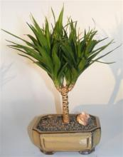 Needle Point Dracena Bonsai Tree <i>(Dracena Marginata)</i> :: Indoor Bonsai Trees