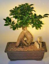 Ginseng Ficus Bonsai Tree - Extra Large <i>(Ficus Retusa)</i> :: Indoor Bonsai Trees