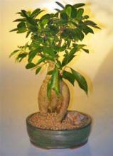 Ginseng Ficus Bonsai Tree - Large <i>(Ficus Retusa)</i> :: Indoor Bonsai Trees